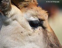 Eastern Mountain Bongo Antelope Eye