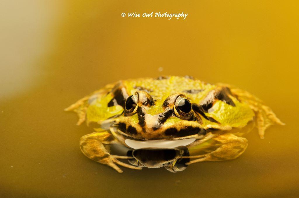 Edible Frog 2