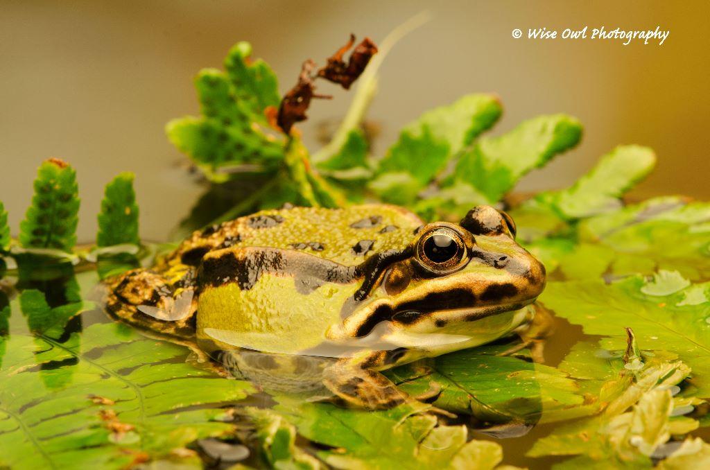 Edible Frog 3
