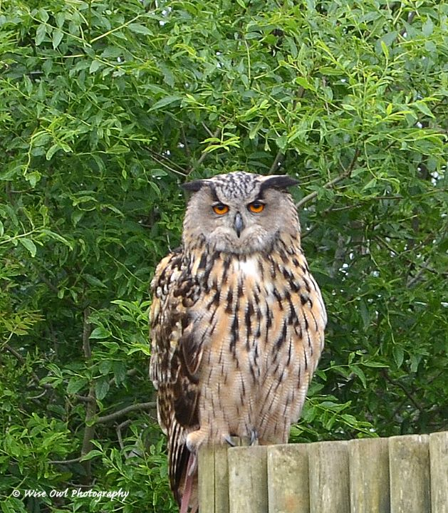 European Eagle Owl 1