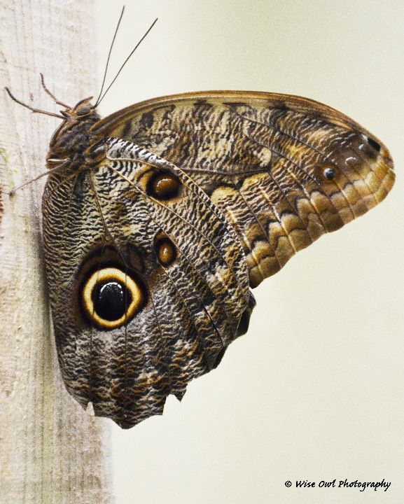 Forest Giant Owl Butterfly 1