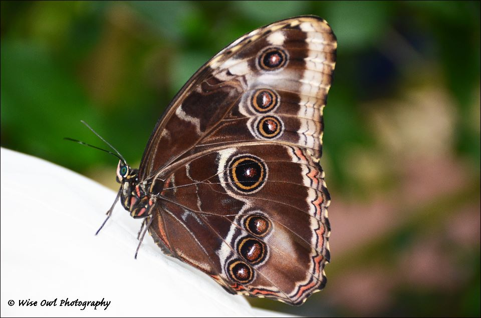 Forest Giant Owl Butterfly 2