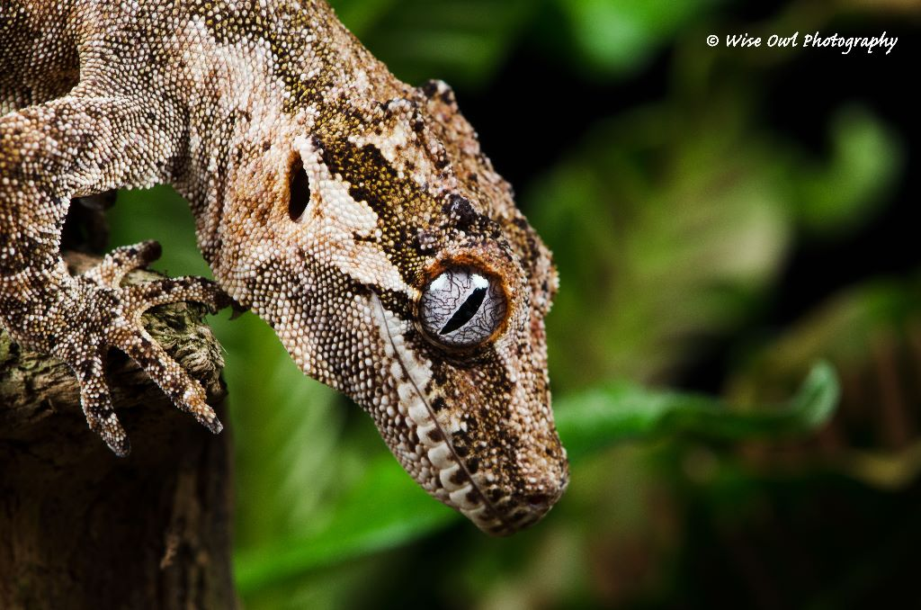 Gargoyle Gecko 1
