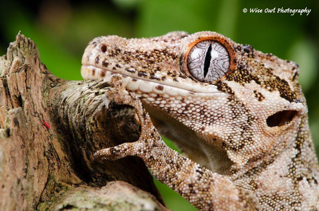 Gargoyle Gecko 3
