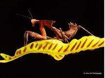 Ghost Mantis  6