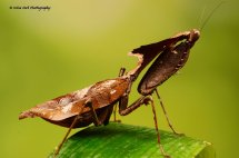 Ghost Mantis 1