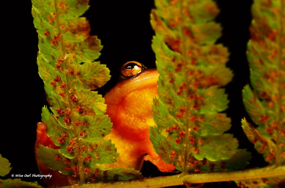 Golden Sedge Frog 2