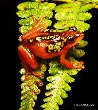 Golden Sedge Frog 3