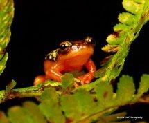 Golden Sedge Frog 4