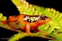 Golden Sedge Frog 5