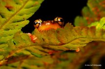 Golden Sedge Frog 6