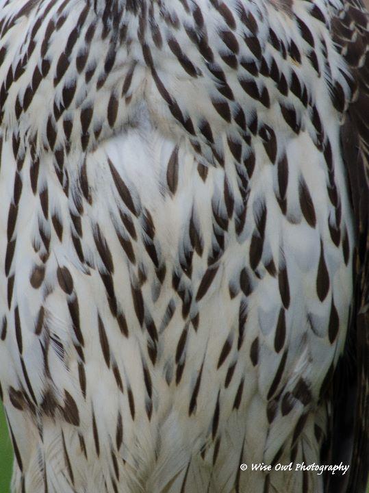 Goshawk Feathers 2