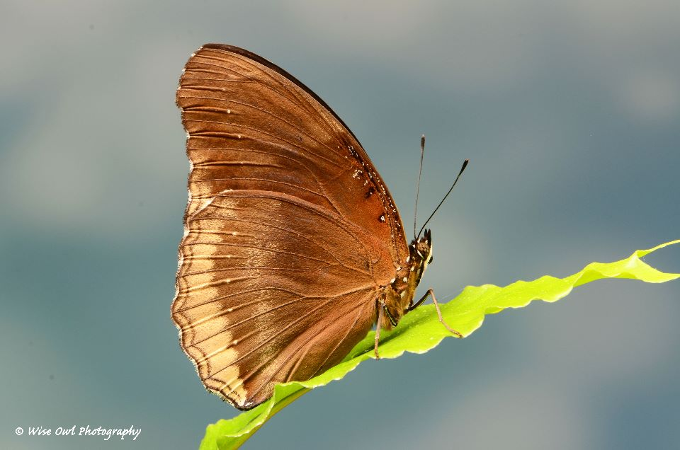 Great Eggfly (Female) Butterfly 1
