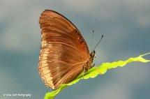 Great Eggfly (Female) Butterfly 1