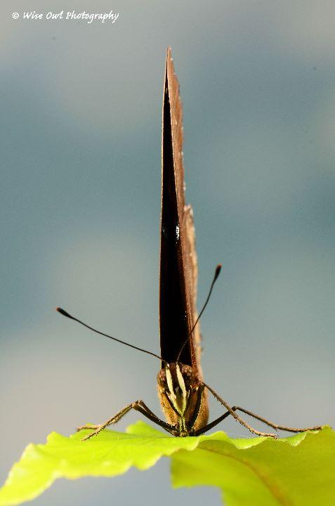 Great Eggfly (Female) Butterfly 2