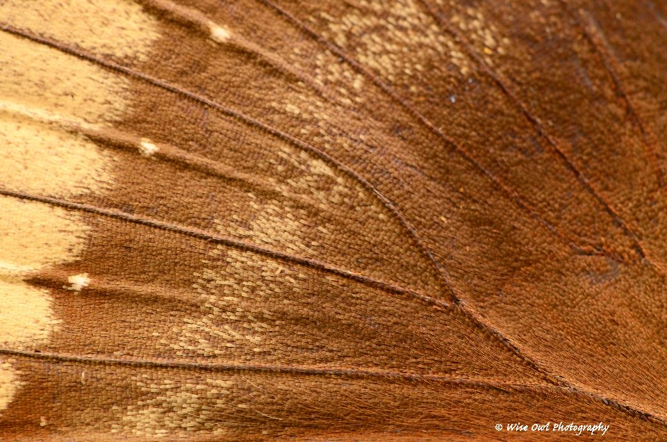 Great Eggfly (Female) Butterfly Wing