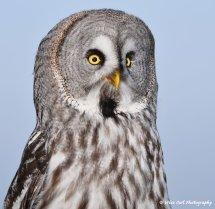 Great Grey Owl 2