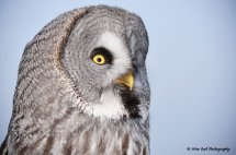 Great Grey Owl 3