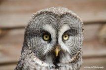 Great Grey Owl 4
