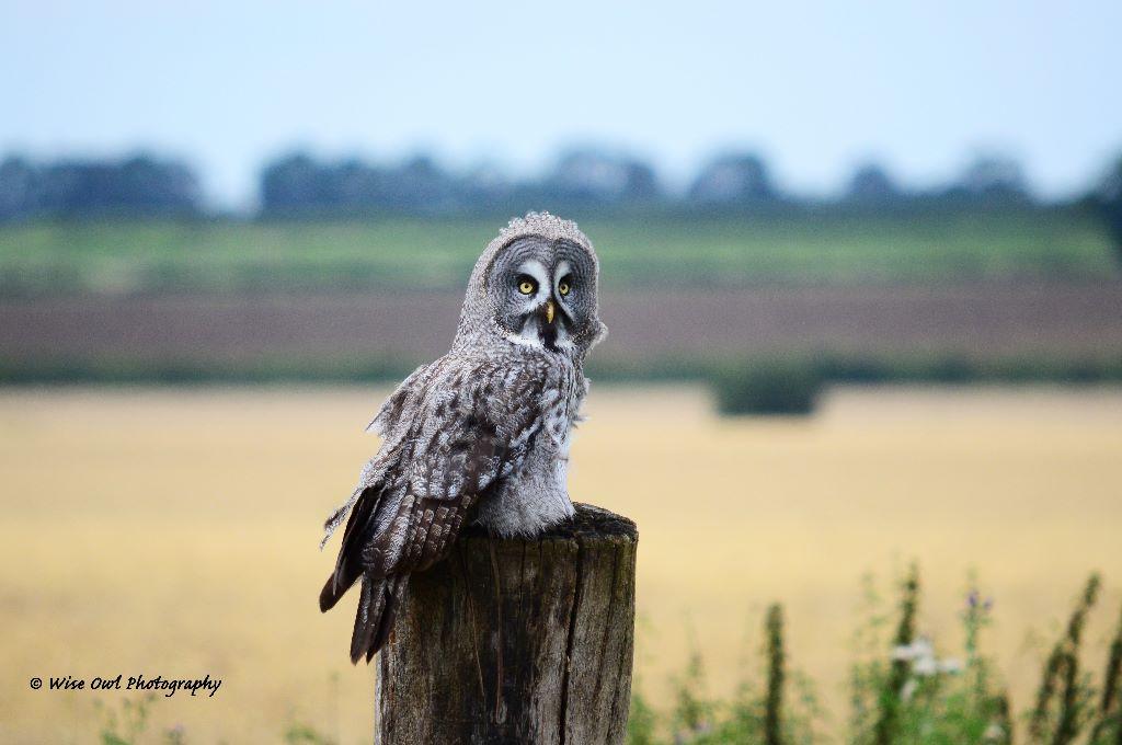 Great Grey Owl 7