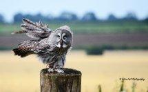 Great Grey Owl 8