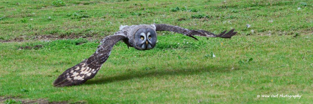 Great Grey Owl 9