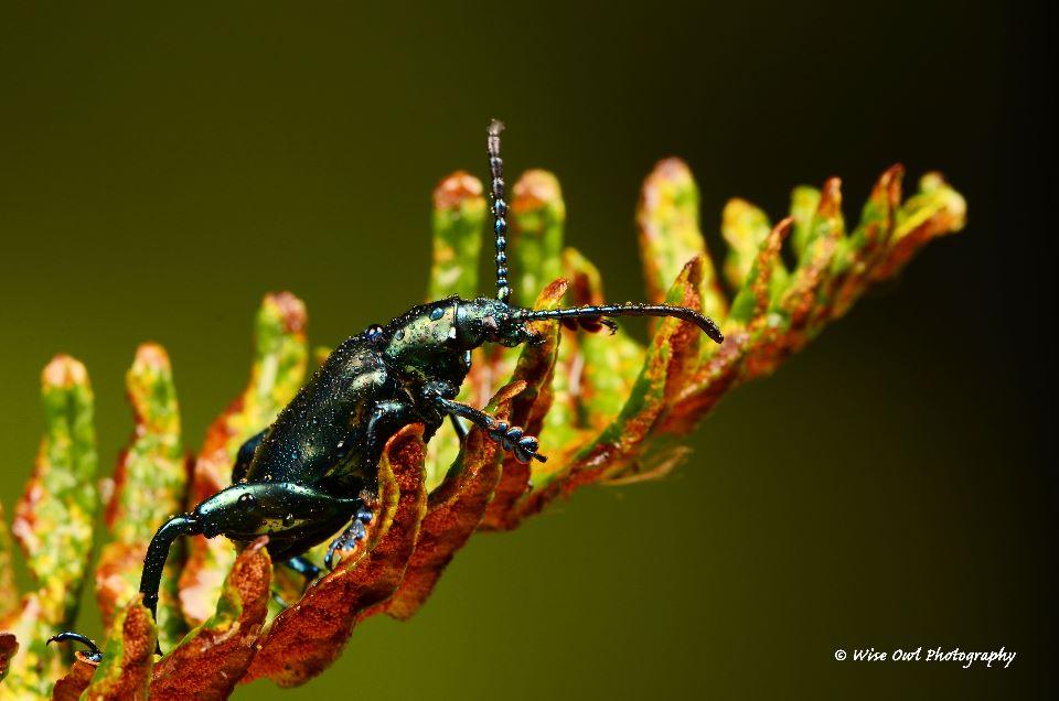 Green Frog Legged Leaf Beetle 1