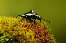 Green Frog Legged Leaf Beetle 3