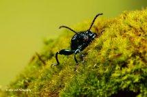 Green Frog Legged Leaf Beetle 5