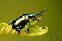 Green Frog Legged Leaf Beetle 6
