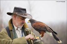 Harris Hawk 1 with Falconer Andrew