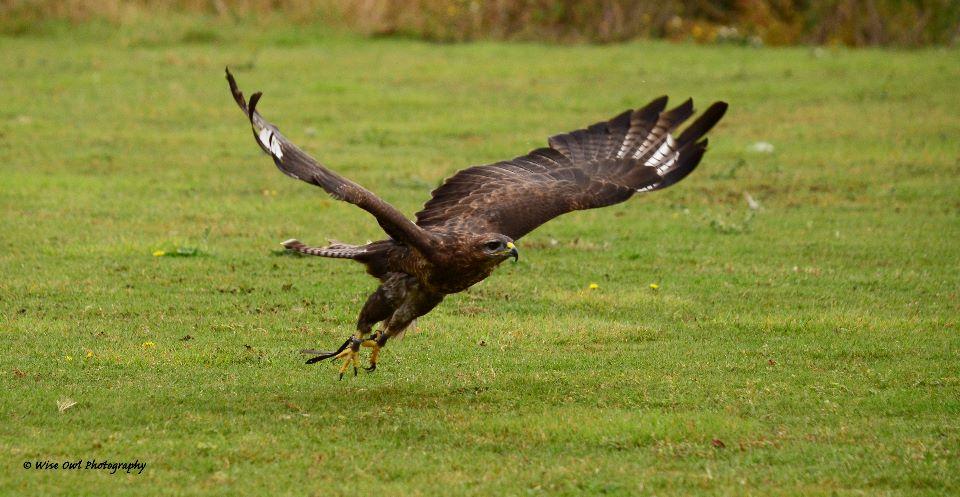 Harris Hawk 10