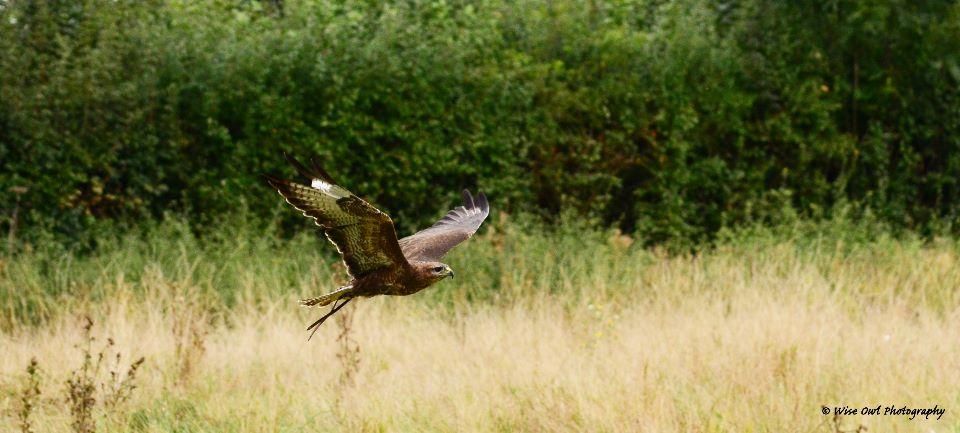 Harris Hawk 11