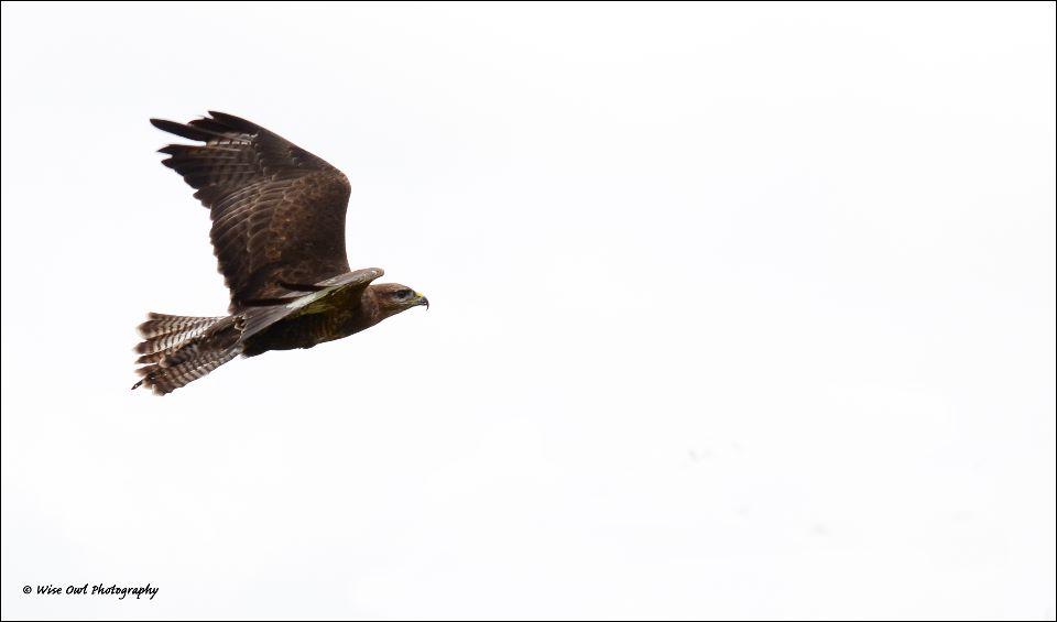Harris Hawk 12
