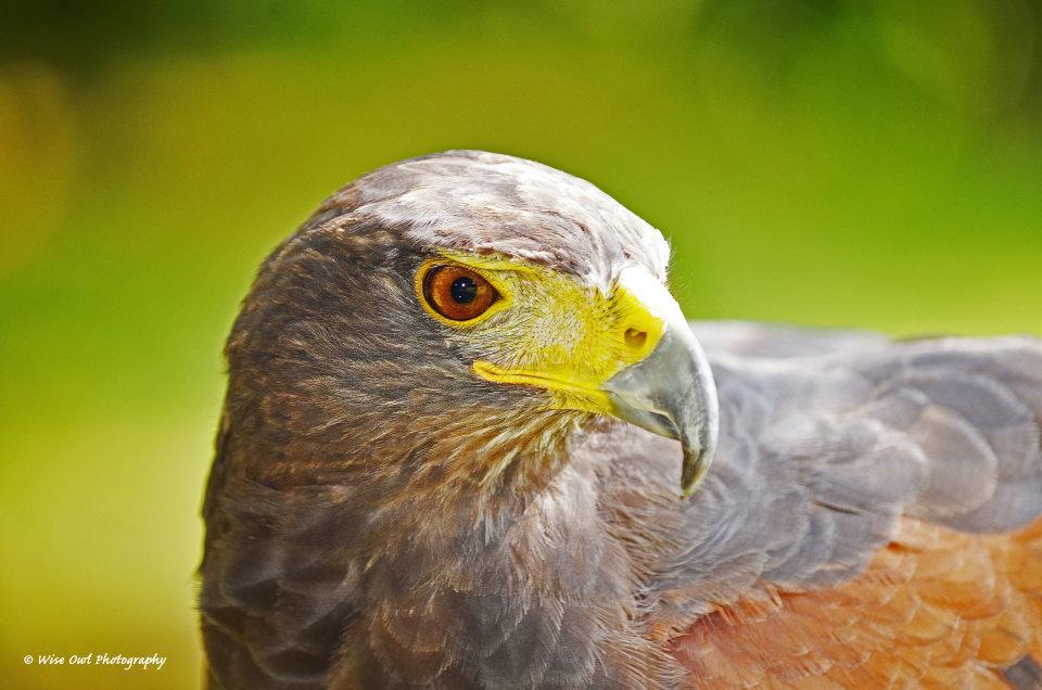 Harris Hawk 4