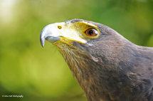 Harris Hawk 5