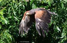 Harris Hawk 6