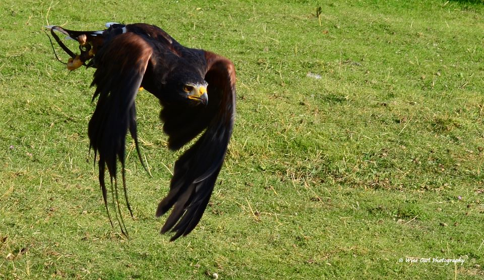 Harris Hawk 8