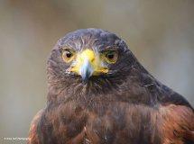Harris Hawk 3