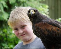 Harris Hawk 9 with Junior Handler Harry