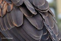 Harris Hawk Feathers 2