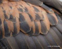 Harris Hawk Feathers 3