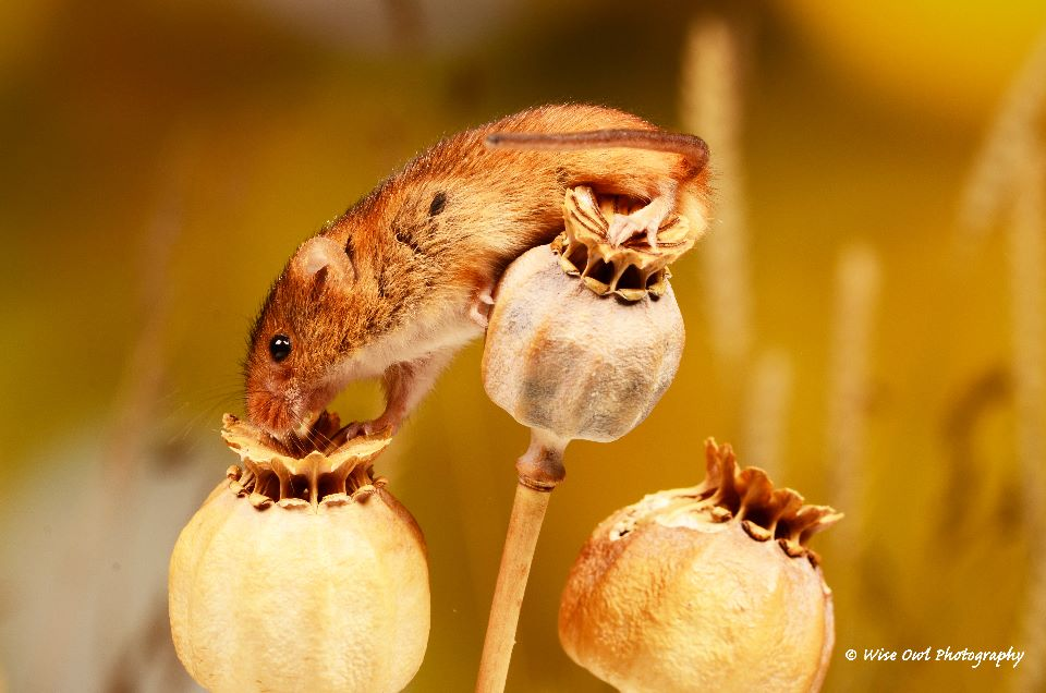 Harvest Mouse 1