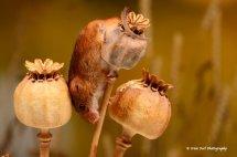 Harvest Mouse 2