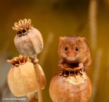 Harvest Mouse 3