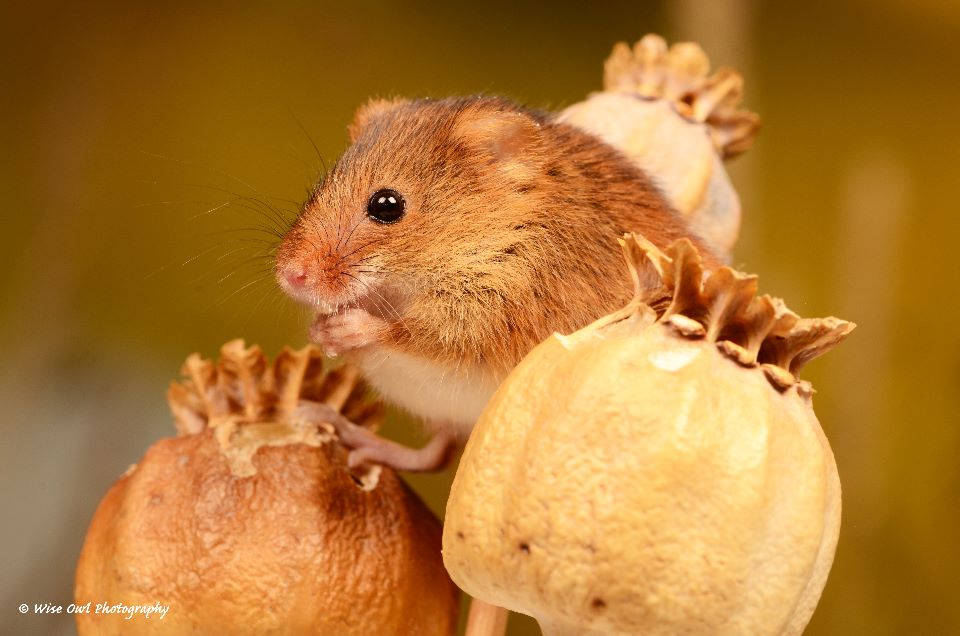 Harvest Mouse 4