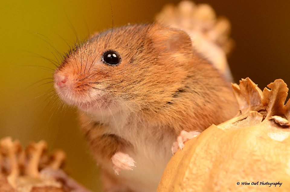 Harvest Mouse 5