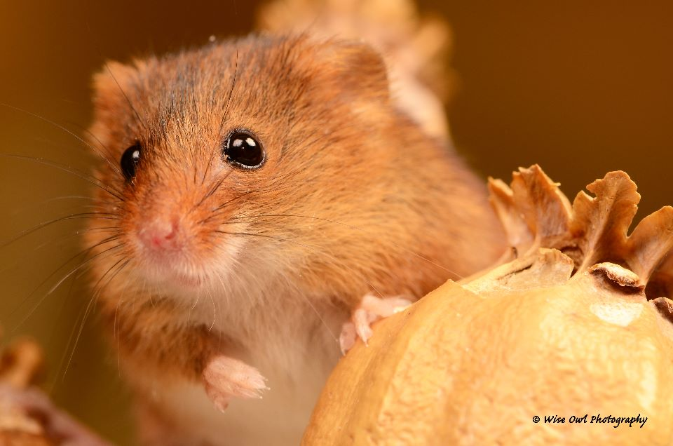Harvest Mouse 6