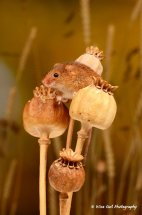 Harvest Mouse 7