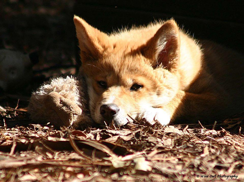 Hot (Dingo) Dog